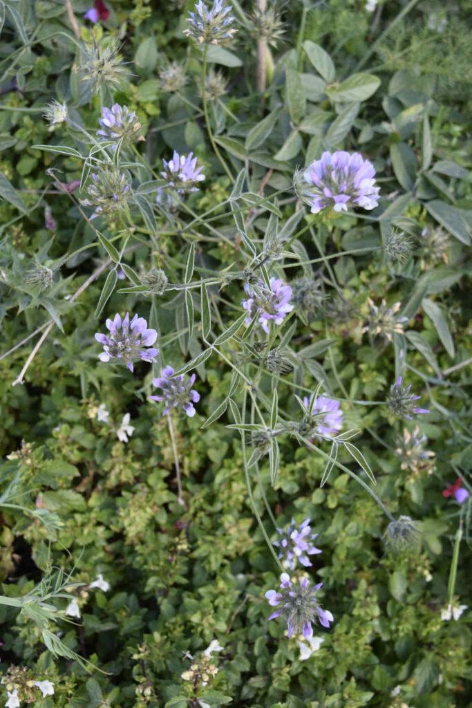 roślinność na Malcie